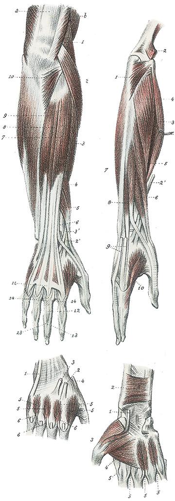 Anatomie van de armen en handen