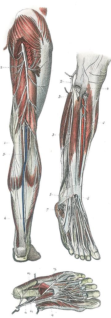 Anatomie van het been