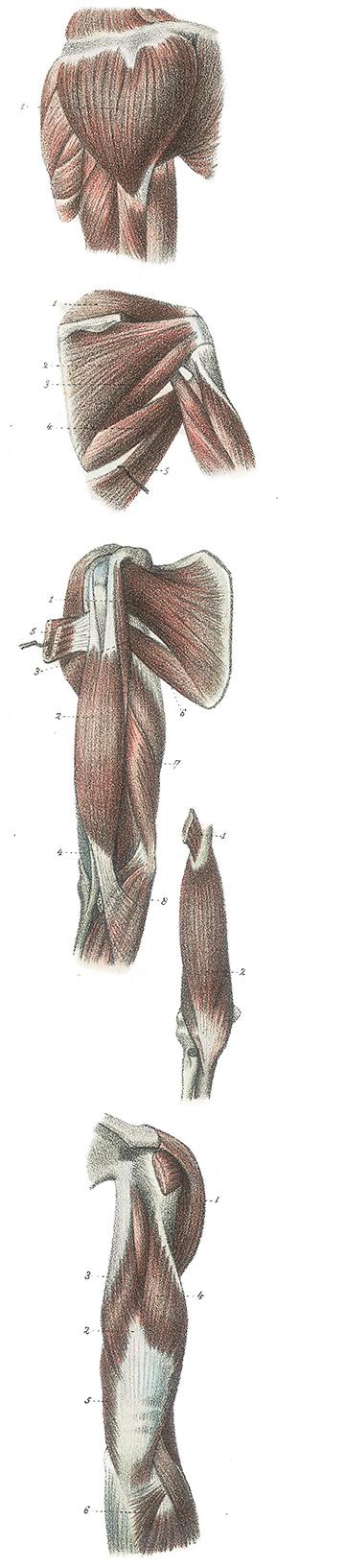 Anatomie van been